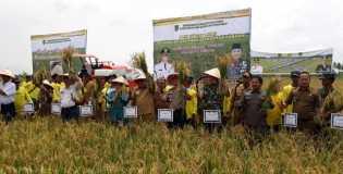 Plt Bupati Rohil Drs Jamiludin Hadiri Acara Panen Raya Padi di Kecamatan Kubu